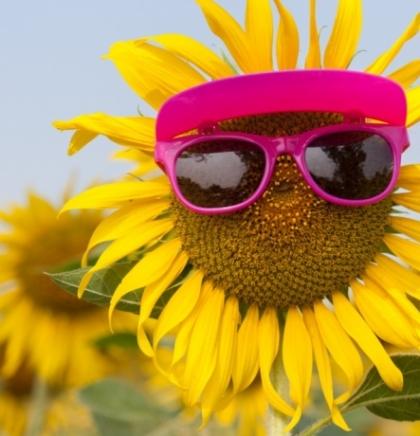 Otkriveno zašto suncokret prate Sunce
