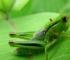 Zvuk cvrčaka uskoro bi mogao postati prošlost