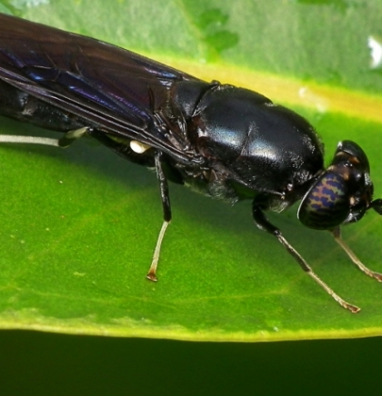 Turkish scientists say black soldier fly could solve waste problem (VIDEO)