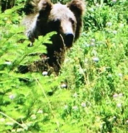 Medvjed i berači borovnica na Zelengori 'postigli kompromis'