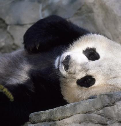 Umrla najstarija panda na svijetu
