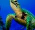 WWF: Zbog zagrijavanja povećava se udio ženki australskih zelenih želvi