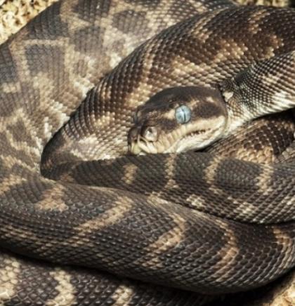 Bečki zoološki vrt uzgojio najrjeđu divovsku zmiju