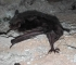 Na području Bijambara otkrivene četiri nove vrste šišmiša