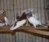 Otvorena 33. međugradska izložba ptica i sitnih životinja u Zenici