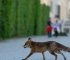 Beč - Lisice u centru grada, u parkovima, vrtovima