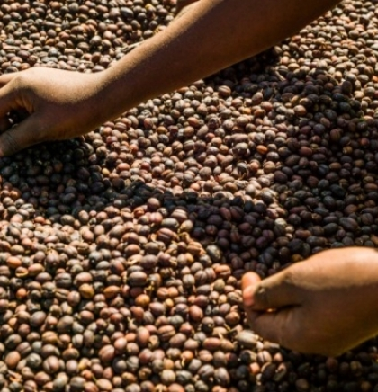Zbog klimatskih promjena ugroženo više od polovine vrsta kafe u svijetu