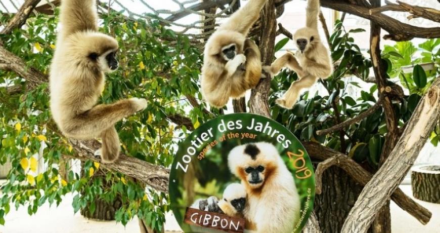 Raspjevani majmuni životinje godine u bečkom zoološkom vrtu