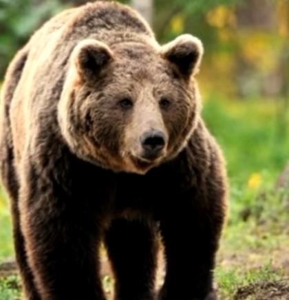 Slovenija: Stručna studija brani kvote za odstrijel medvjeda, udruge užasnute