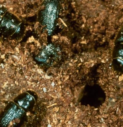U Nacionalnom parku Kozara otkrivene čak 44 nove vrste tvrdokrilaca