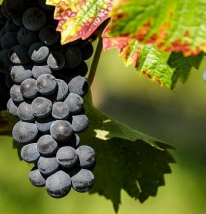 Dani berbe grožđa od 14. do 22. rujna u Čitluku