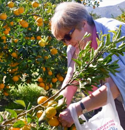 Berba mandarina, turistička atrakcija u dolini Neretve (VIDEO)