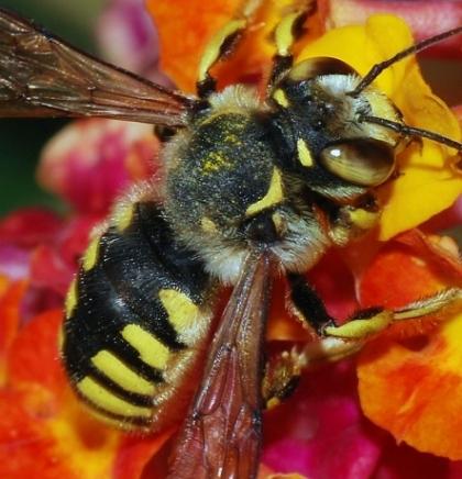 Pčela proglašena najvažnijim bićem na planeti