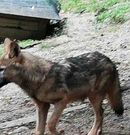 Mladi vuk novi stanovnik Pionirske doline