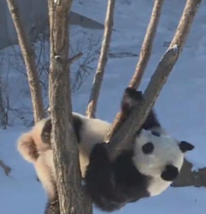 Kako su pande postali ambasadori Kine (VIDEO)