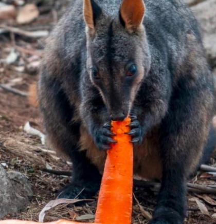 Australija izbacuje povrće iz helikoptera za gladne životinje koje bježe od požara