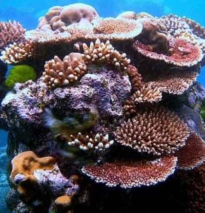 Klimatske promjene mogle bi do 2100. ubiti sve koraljne grebene