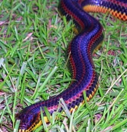 Rainbow zmija primjećena je u okrugu Florida prvi put od 1969.