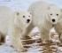 Naučnici kažu da se polarni medvjedi sve češće okreću kanibalizmu