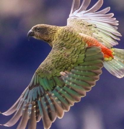 Ova ugrožena papiga može koristiti vjerovatnoću kako bi donijela odluku