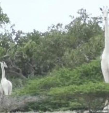 Dvije rijetke bijele žirafe ubili krivolovci u Keniji