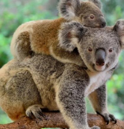 Nakon požara u Australiji koalama prijeti izumiranje