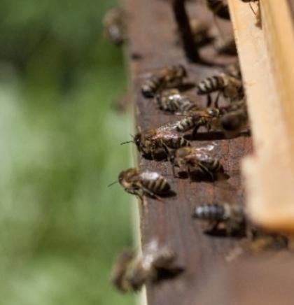 Beč – Prijestolnica evropskih pčela