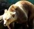 U poslednja tri mjeseca izgubljeno šest jedinki medvjeda u BiH