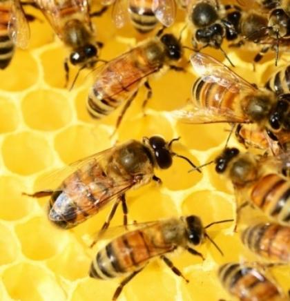 Beč je evropska prestonica pčela s oko 5.000 košnica