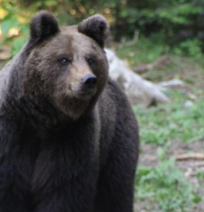 Organizacija Four Paws prekinula suradnju s Hrvatskom zbog Macolinih medvjeda