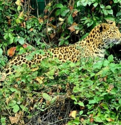 U zagrebački ZOO stigla kineska leopardica
