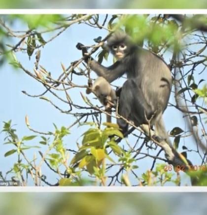 U Mjanmaru otkrivena nova vrsta primata