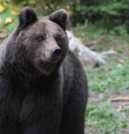 Pokrenuti važni procesi za zaštitu mrkog medvjeda u BiH