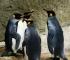 Pingvini u londonskom akvariju u vrijeme zatvaranja gledaju božićne filmove