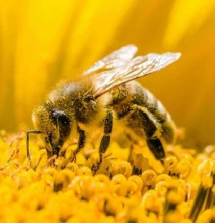 Svjetski dan pčela: Svaki treći zalogaj u ishrani čovjeka zavisi od pčela