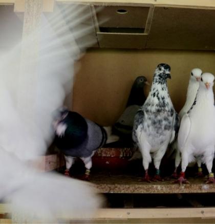 Sarajevski golubovi
